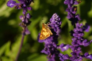 Peck Skipper, by Ron Rowan