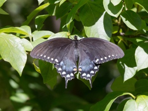 Spicebush Swallowtail, by Doug Welch