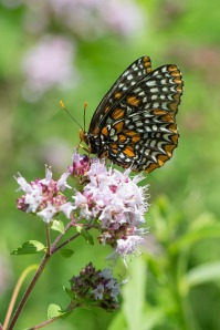 Baltimore Checkerspot, by Mike Veltri