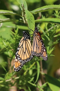 Monarchs Mating,  by Michelle Sharp