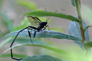Pelecinid Wasp