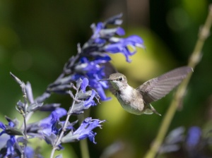 Ruby-throated Hummingbird, by Doug Welch