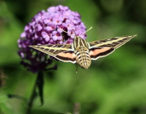 White-Lined Sphinx Moth, by Jim Upton