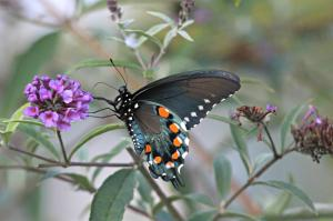 Pipe Vine Swallowtail, by Michelle Sharp