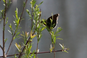 Mourning Cloak, May 6 2014, by Michelle Sharpe