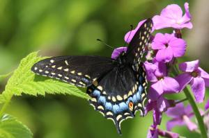 Black Swallowtail, June 1 2014, by Michelle Sharp