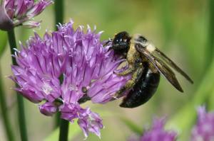 Carpenter Bee, June 1 2014, by Michelle Sharp