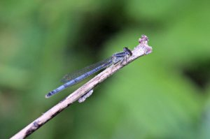 Eastern Forktail, June 2 2014, by Michelle Sharp