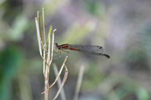 Young Eastern Forktail, June 2 2014, by Michelle Sharp