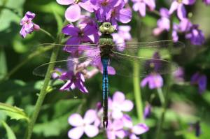 Green Darner, June 1 2014, by Michelle Sharp