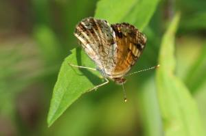 Pearl Crescent, May 30 2014, by Michelle Sharp