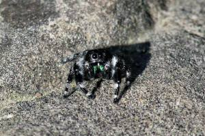 Phidippus audax (Common Jumping Spider), May 31 2014, by Michelle Sharp