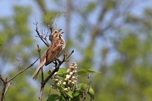 Song Sparrow, May 29 2014, by Michelle sharp