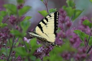 Tiger Swallowtail, May 30 2014, by Michelle Sharp