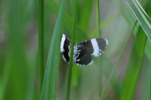 White Striped Black Moth, May 30 2014, by Michelle Sharp