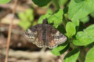 Wild Indigo Duskywing, May 31 2014, by Michelle Sharp
