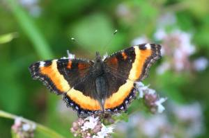 Milbert's Tortoiseshell, July 31 2014, by Michelle Sharp