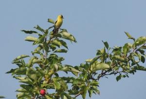 Annaliese Mori - goldfinch