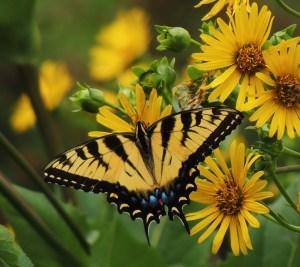 Bonnie Kinder - eastern tiger swallowtail (2nd butterflies)