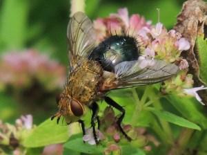 Bonnie Kinder - tachinid fly