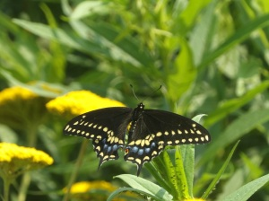 Calvin Melanson - Eastern Black Swallowtail