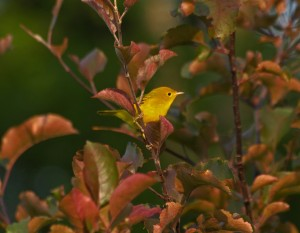 Colin Marcano - yellow warbler