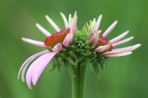 Michelle Sharp - double-headed coneflower