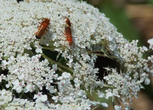 Sarah Rotella - red soldier beetle
