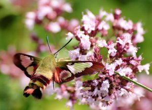 Valerie Nazemi - hummingbird clearwing moth