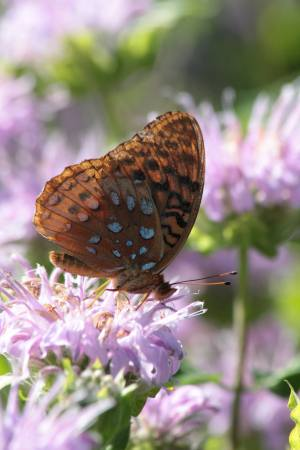 Great Spangled Fritillary July 12, 2016 Photo by Michelle Sharp