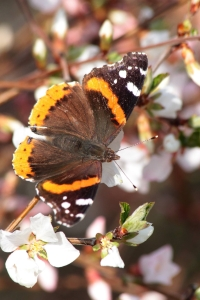 15April_2017_RedAdmiral1