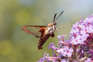 Hummingbird Clearwing Moth July 31, 2015 Photo by Doug Welch