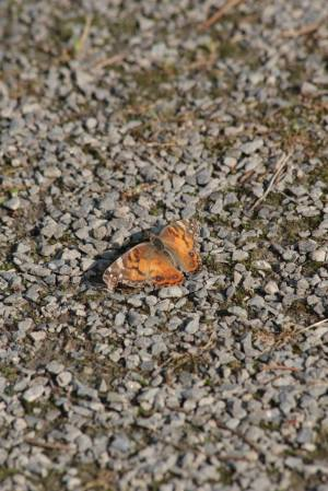 American Painted Lady on path June 10, 2015 Photo by Michelle Sharp