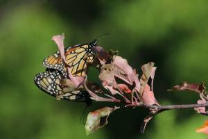 Mating Monarchs August 12, 2015 Photo by Michelle Sharp