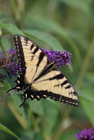 Tiger Swallowtail on Buddleia August 14, 2015 Photo by Michelle Sharp