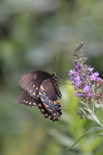 aug14_spicebush-swallowtail