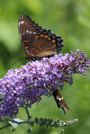 Red Spotted Purple & Silver Spotted Skipper on Buddleia August 15, 2015 Photo by Michelle Sharp