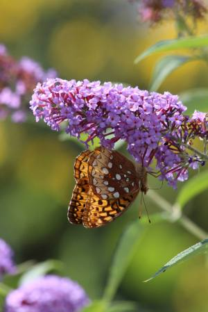 Great Spangled Fritillary on Buddleia August 15, 2015 Photo by Michelle Sharp
