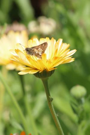 Peck's Skipper on English Marigold August 15, 2015 Photo by Michelle Sharp