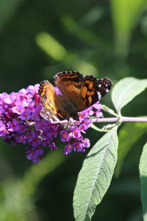 American Lady on Buddleia August 16, 2015 Photo by Michelle Sharp