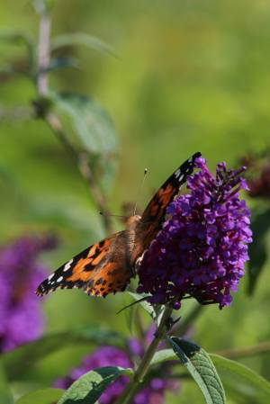 Painted Lady on Buddleia August 16, 2015 Photo by Michelle Sharp
