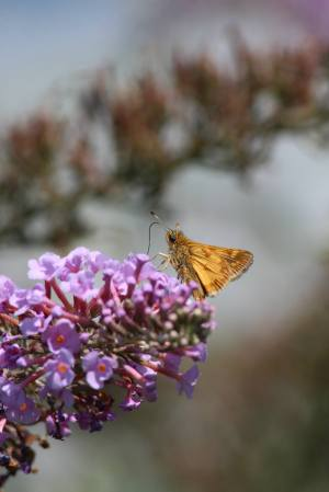 Peck's Skipper on Buddleia August 16, 2015 Photo by Michelle Sharp