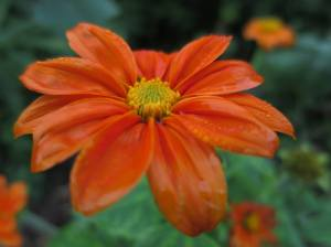 Mexican Sunflower August 19, 2015 Photo by Michelle Sharp
