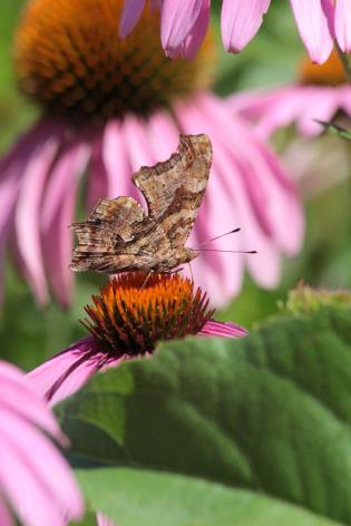 Comma August 1, 2016 Photo by Michelle Sharp