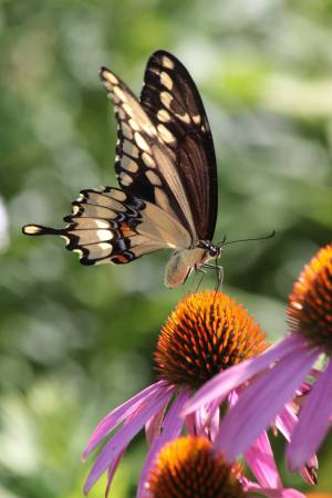 Giant Swallowtail August 1, 2016 Photo by Michelle Sharp