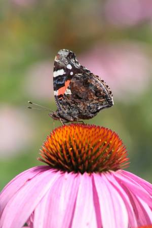 Red Admiral August 1, 2016 Photo by Michelle Sharp