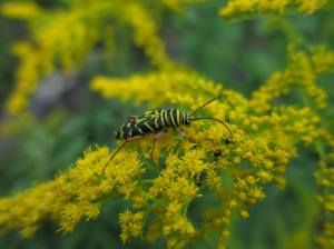 Locust Borer on Goldenrod August 20, 2015 Photo by Michelle Sharp