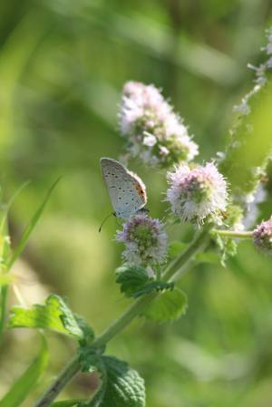 Eastern Tailed Blue on Mint August 20, 2015 Photo by Michelle Sharp