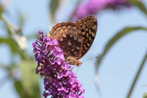 Great Spangled Fritillary on Buddleia August 22, 2015 Photo by Michelle Sharp