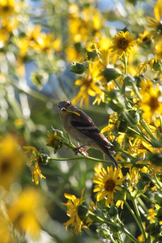 aug22_goldfinch